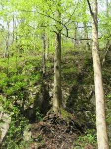 Деревья на склоне Бычьей скалы