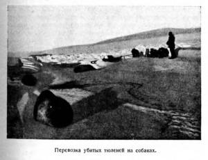 Перевозка убитых тюленей на собаках.