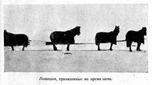Лошадки, привязанные на время ночи.